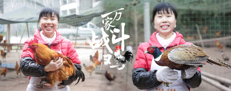 万家战斗鸡